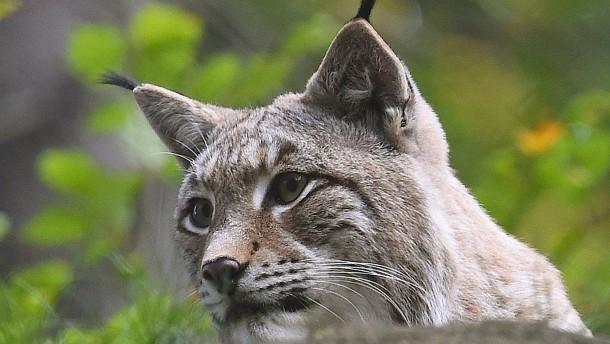 Gefährdeter Bestand in Hessen: Das einsame Los der Luchs-Männchen