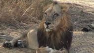 Mensch gegen Löwe in Indien