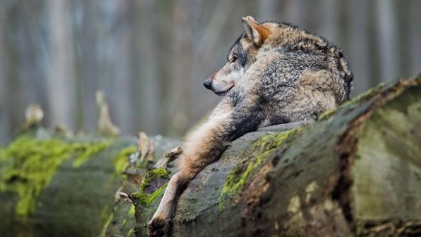 Ein Wolfzentrum für Hessen