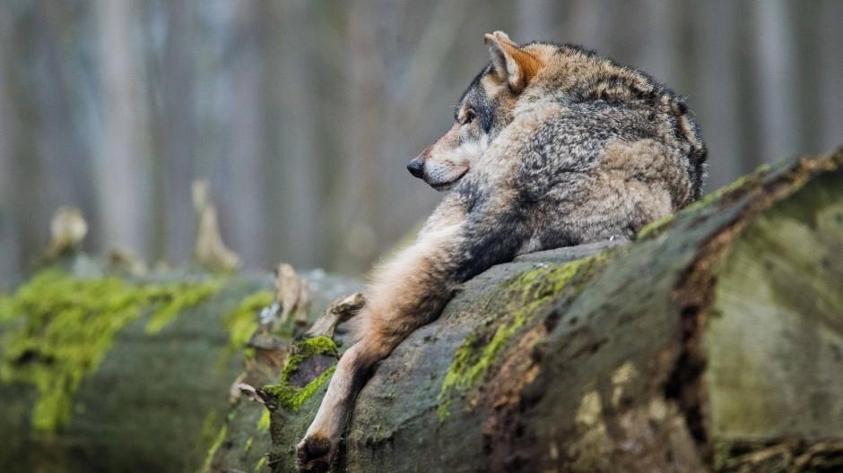Managementthema: Hessen plant ein Wolfzentrum