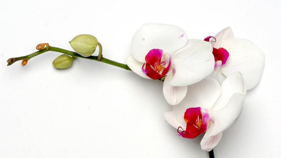 Ein ganz sensibles Pflänzchen: Die Orchidee