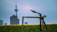 Abkühlung: Ein Feld in Frankfurt wird beregnet.