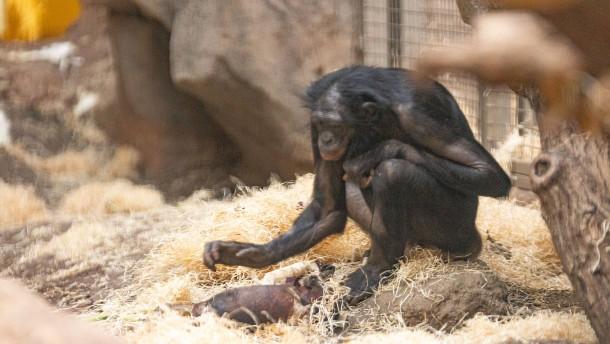 Totes Bonobo-Baby wird nicht obduziert
