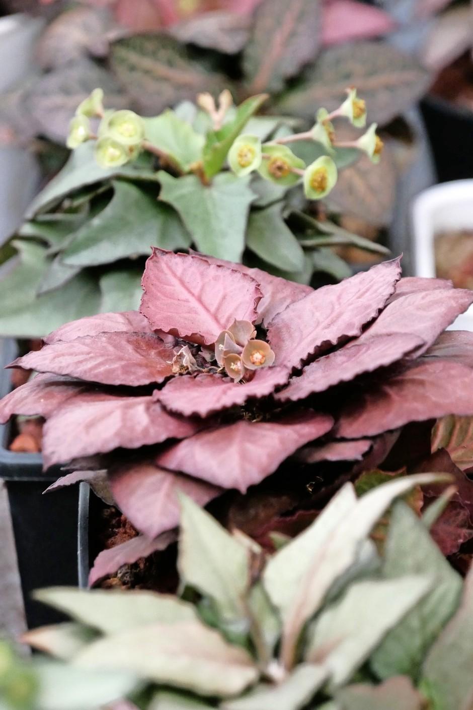 Die Euphorbia francoisii stammt eigentlich aus Madagaskar.