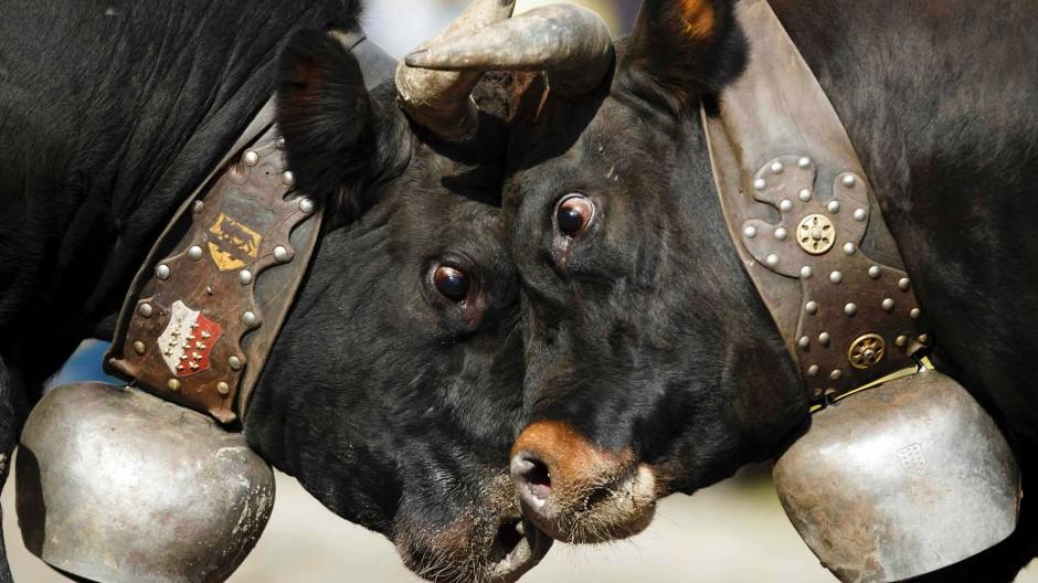 Schau mir in die Augen: Kämpfende Kühe