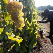 Soll neue Absatzmärkte erlangen: Die Rheingauer Weintrauben, bisher vor allem im Direktvertrieb zu kaufen.