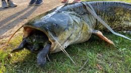 Wels verschluckt sich an Schildkröte