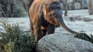 Festschmaus im Tierpark Friedrichsfelde in Berlin: unverkaufte Weihnachtsbäume werden an die Elefanten verfüttert.