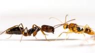 Im Vergleich mit den Weibchen (l.) fanden sich deutlich geringere zwischenartliche Duft-Unterschiede bei männlichen Ameisen (r.).