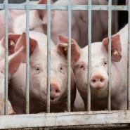 Discountpreis: Nach einem Nachweis der Schweinepest in Brandenburg ist der Wert der Schweine bundesweit abgestürzt