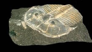 429 Millionen Jahre alte Augen in Trilobiten-Fossil entdeckt