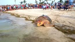 Meeresschildkröten schwimmen wieder