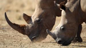 Nashorn-Schmuggler darf Gefängnis vorzeitig verlassen