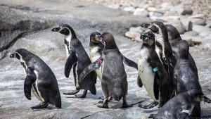 Bierlachs, Prüfluchs, Pinguinfest