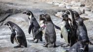 """Neueröffnung des Pinguin-Geheges in Frankfurt: Trotz """"falscher"""" Felsen fühlen sich die Tiere sichtlich wohl."""