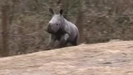Nashorn-Nachwuchs in den Niederlanden