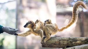 Lemuren und Feldhamster vom Aussterben bedroht