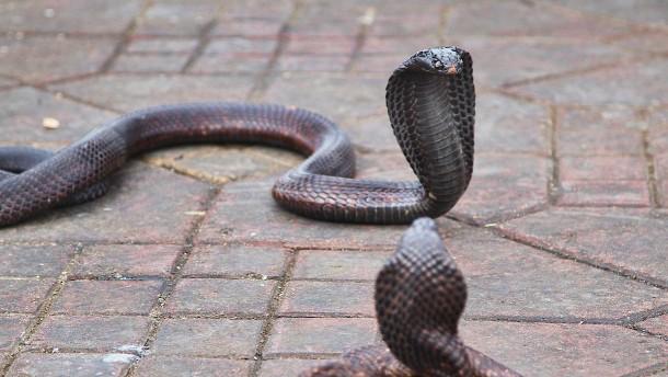 Mann tötet Ehefrau bei zweitem Versuch mit Giftschlange