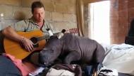Nashorn-Baby schlummert zu Gitarrenklängen