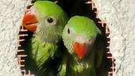 Papageien-Küken überleben hinter Bauschaum