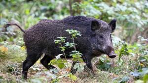 Wildschwein verletzt Jäger tödlich
