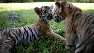 Tigerbabys faszinieren Zoobesucher in Mexiko