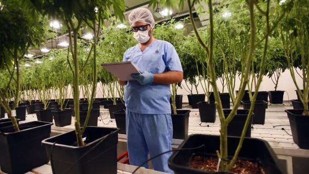 Marihuana für medizinische Zwecke heiß begehrt