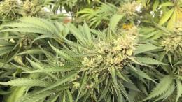 Cannabis legalisieren?