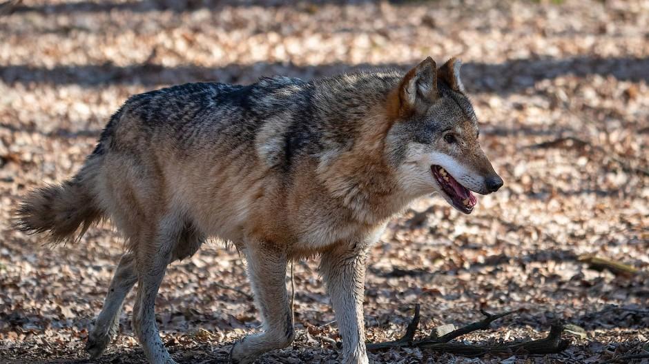 Wieder da, aber selten gemischt mit Hund: Wolf, hier in einem Gehege in Sachsen.