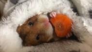 Hungriger Hamster bringt Herzen zum schmelzen