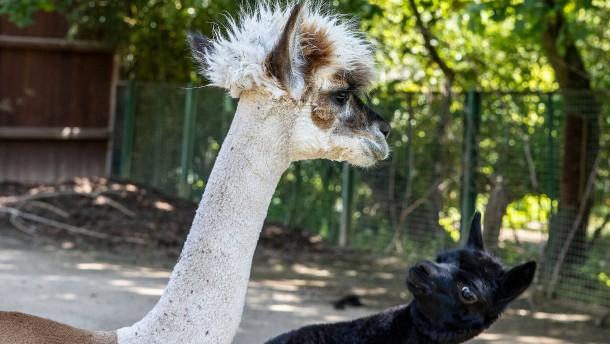 Die Alpakas müssten auch mal zum Friseur