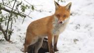 Rotfüchse werden in Europa geschossen, um den Artbestand zu regulieren. Würde ihr Fell nicht verarbeitet werden, käme es in den Müll.