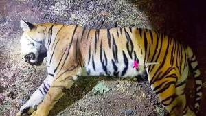 """Menschenfressende Tigerin """"Avni"""" in Indien erschossen"""