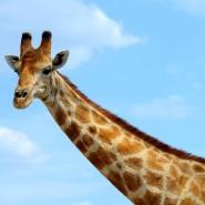 Unglaublich: Eine Giraffe verfügt über ebenso viele Halswirbel wie ein Mensch.
