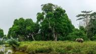 Im Nationalpark von Odzala-Kokoua gibt es auch Waldelefanten.