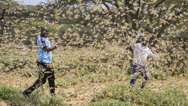 Heuschrecken fallen über Ostafrika her