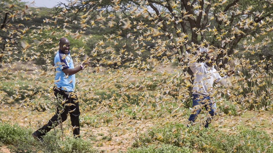 Zwei Mitarbeiter vom Katastrophenschutz gehen in einem Schwarm Wüstenheuschrecken.