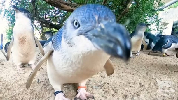Herde von Zwergpinguinen heimlich gefilmt