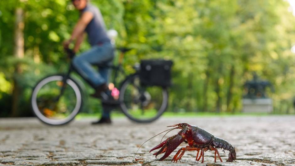 Ein Fahrradfahrer beobachtet im August im Tiergarten in Berlin einen roten amerikanischen Sumpfkrebs.