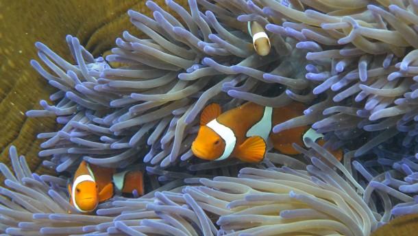 """Australisches Great Barrier Reef """"in schlechtem Zustand"""""""