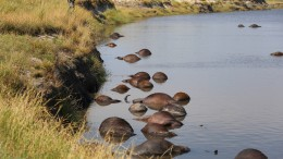 Büffelherde ertrinkt in Fluss