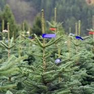 Diese kleine Nordmanntanne soll mal ein Weihnachtsbaum werden.