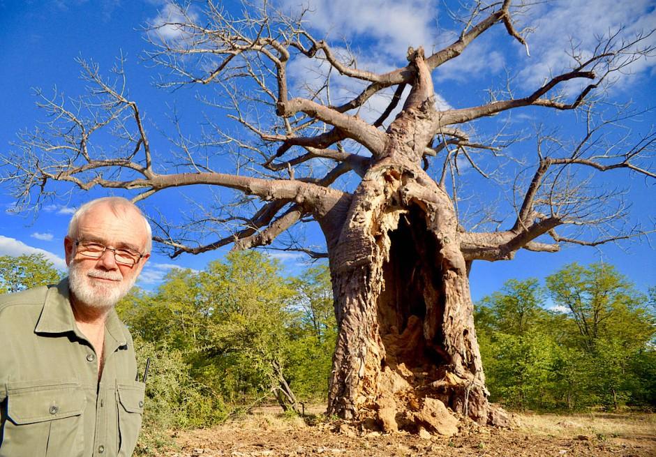 Zu viele Elefanten setzen den Baobabs deutlich zu. Manager David Goosen vor einem der Bäume, dessen Rinde durch gefräßige Elefanten geschädigt wurde.