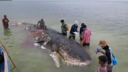 Wal strandet mit sechs Kilo Plastik im Bauch