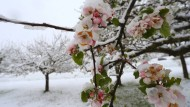 Eine Schneedecke legt sich in Altenstadt, Bayern, über die blühenden Apfelbäume.