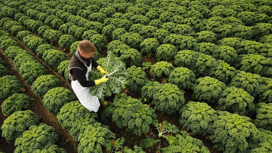 Alles grün, oder was? Ein Bauer bei der Handernte von Grünkohl