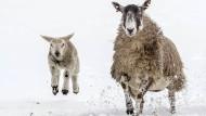 In den französischen Alpen sind tausende Schafe von einem Schneesturm überrascht worden (Symbolbild)
