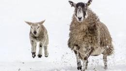 Tausende Schafe nach Schneesturm in Alpen gerettet