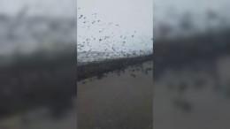 Riesiger Vogelschwarm auf der Autobahn