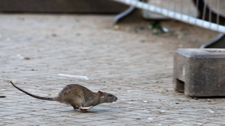 Schreck der estländischen Online-Behörden: Ratten (Symbolbild)